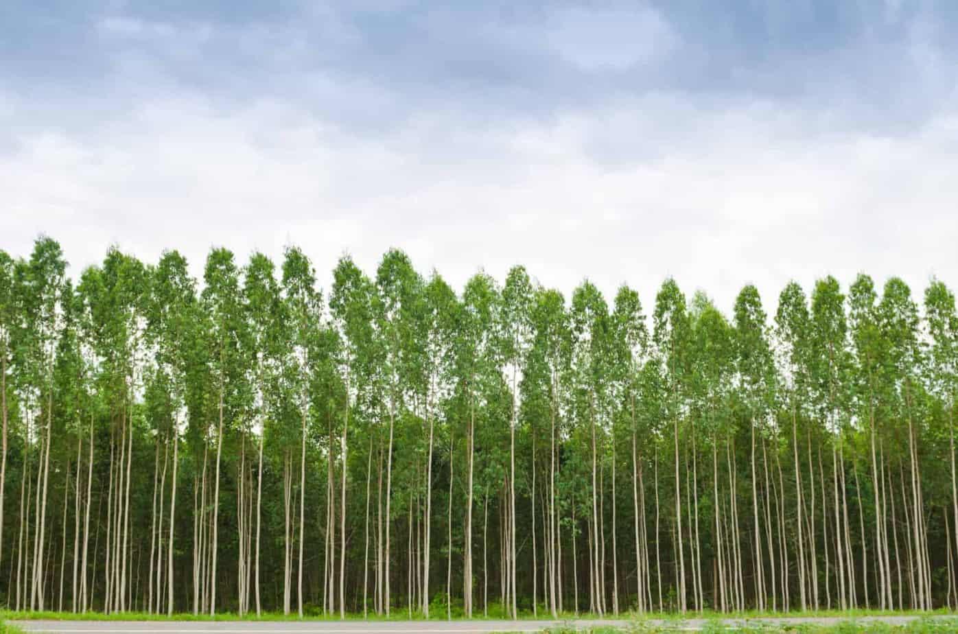 Eukalyptuswald nachhaltig lyocell produktion