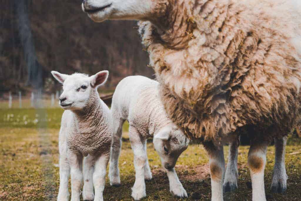 schaf und laemmer mit schurwolle